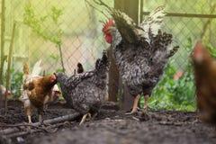 Happy organic hens. Chickens freely roaming on a farm. Free range living chicken on  farm. Hens  roam freely in green paddock. Free rang hens farm royalty free stock photo
