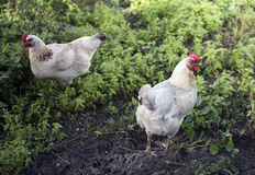 Free range chickens. Two white Marans chickens search for insects to eat amongst the weeds at a inner city market garden royalty free stock photography