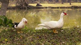Free range muscovy ducks. stock footage
