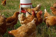 Free range organic chickens Stock Photos