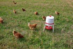 Free range organic chickens Royalty Free Stock Photos