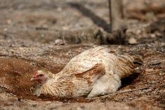 Free range organic chickens Stock Photography