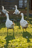 Free range organic Embden white geese Stock Photo