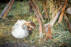 Free range, outdoor bred goose and duck Stock Images
