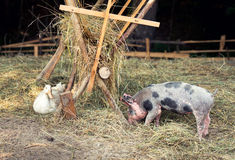 Free range, outdoor bred piglet, goose and duck Royalty Free Stock Photo