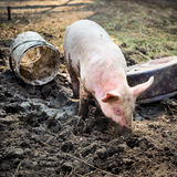 Free range, outdoor bred piglet playing in the mud. At an agricultural farm Stock Photography