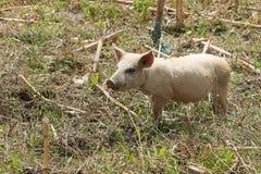 Free Range Pig Stock Photo