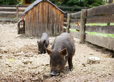 Free range pig animals Royalty Free Stock Images