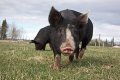 Free Range Pig. Free range Berkshire hog in the pasture royalty free stock photography