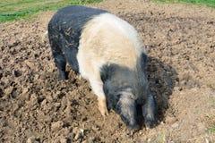 Free range pig feeding Stock Images