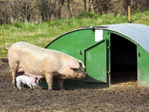 Free range pig and piglet. A free range pig and piglet near a hut in a countryside setting in springtime Stock Image