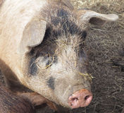 Free-Range Pig Portrait Royalty Free Stock Image