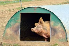 Free range pig scratching Stock Images