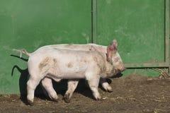 Free range piglets 2 Stock Image