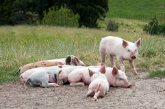 Free range piglets royalty free stock photography
