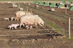 Free range pigs Royalty Free Stock Photo