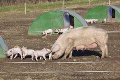 Free range pigs Royalty Free Stock Photography