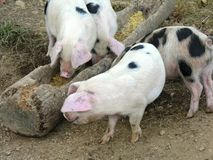 Free range pigs. Eating time on a farm Royalty Free Stock Images