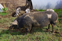 Free range pigs grazing Stock Photo