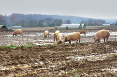 Free range pigs grazing. Free range pig shelters in a field with pigs amongst them Stock Photo