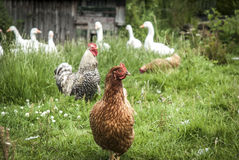 Free Range Poultry stock photos