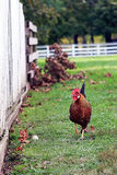 Free Range Rooster Royalty Free Stock Photo