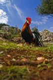 Free range rooster in a field. With blue sky Royalty Free Stock Photo