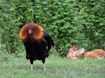 Free range rooster fluffing his neck feathers Royalty Free Stock Images