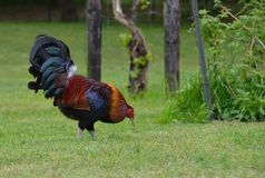 Free range rooster foraging Royalty Free Stock Image