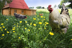 Free Range Rooster and hens Royalty Free Stock Photos