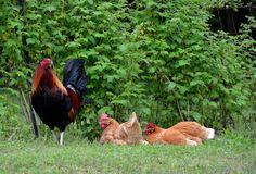 Free range rooster and hens Royalty Free Stock Photography