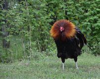 Free range rooster, puffing out his head feathers Royalty Free Stock Photos