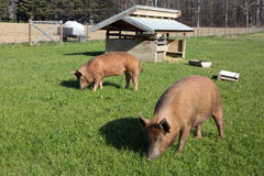 Free Range Tamworth Pigs On Farm Royalty Free Stock Photo