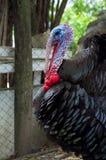 Free range turkey royalty free stock image