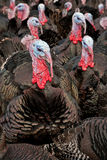 Free-Range Turkeys Royalty Free Stock Image