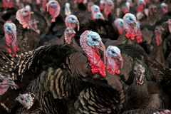 Free-Range Turkeys Royalty Free Stock Photography
