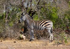 Free Free-range Young Zebra In The Kruger Park, South Africa Royalty Free Stock Photos - 172659608