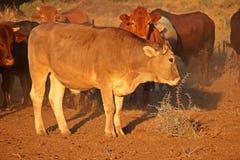 Free ranging cattle Stock Photo