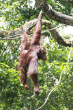Free Ranging Orang Utan Royalty Free Stock Image