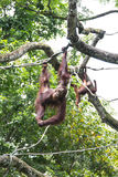 Free Ranging Orang Utan Royalty Free Stock Photos