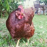 Free-ranging red hen. Hen, bird, chicken, free, ranging, garden, yard, outdoors, pets, animal, full body, looking at camera, organic, nature, domestic, food Stock Photography