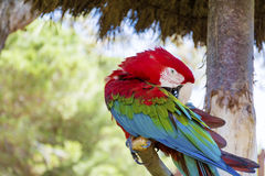 Free red macaw parrot sitting on a tree in the park Stock Image