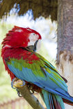 Free red macaw parrot sitting on a tree in the park Stock Images