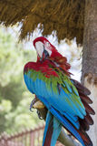 Free red macaw parrot sitting on a tree in the park. Red and blue macaw parrot sitting on a tree in the zoo in Marineland ,Spain Stock Image