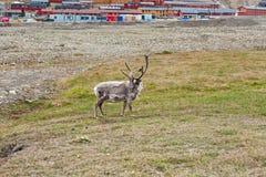 Free reindeer in Longyearbyen, Norway Royalty Free Stock Images
