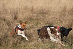 Free from restraint, three dogs race. Three dogs tearing at speed through long grass Stock Images