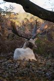 white buck injured from the rut recovers away form the herd stock photo