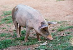 Free Roaming Pig in farm Royalty Free Stock Photography