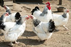 Rooster and hens with black and white feathers royalty free stock photo