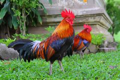 Free  Rooster Royalty Free Stock Photography